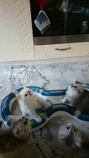 Bkh shaded kitten