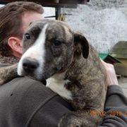 Gyömber American Staffordshire Terrier Hündin