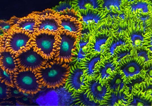 Meerwasser Koralle Zoanthus, Krustenanemone verschiedene Arten