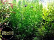 Rotstängeliges Hornblatt Mexiko RARITÄT Aquarienpflanzen
