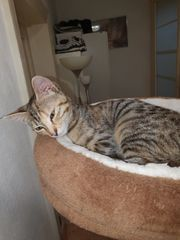 bengal maincoon mix kitten und