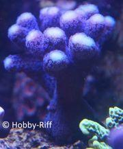 Meerwasser Korallen Stylophora Pistillata -Stylophora