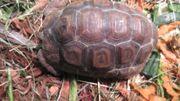 Glattrandgelenkschildkröte