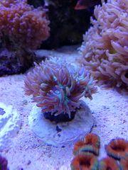 Meerwasser Korallen Bartkoralle