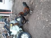 Hähne und Hennen