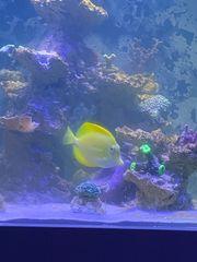 meerwasser doctorfisch und kaninchenfisch