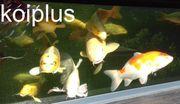 Koi Störe Goldfische Graskarpfen Shubunkin