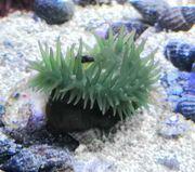 grüne Purpurrose Actinia equina Meerwasser