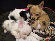 Chihuahua langhaar kurzhaar Merle