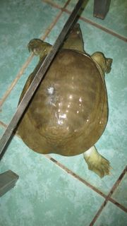 Pelodiscus sinensis Weichschildkröte