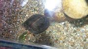 Zierschildkröte männlich