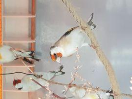 Stieglitz Major: Kleinanzeigen aus Coburg Bertelsdorf - Rubrik Vögel