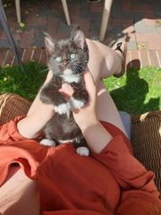 2 weibl kitten