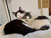 Zwei Traumkatzen suchen ein Zuhause