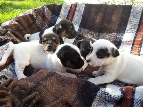 Verkaufe kurzbeinige Jack Russell Terrier