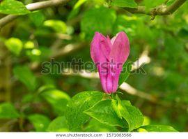 10 Stück Pflanzen Magnolie ``Susan``
