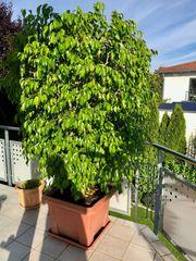 Ficus - Baum