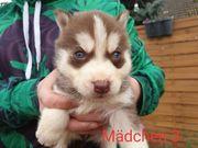 Husky Welpen
