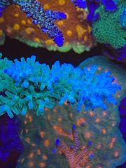 Meerwasser Acropora echinata turaki blau