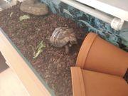Griechische Landschildkröte mit Terrarium und