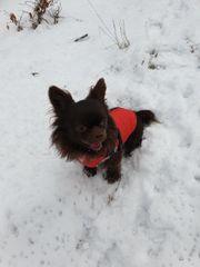 Deckrüde Chihuahua