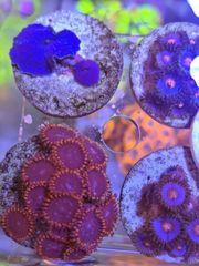 Meerwasser Aquarium Korallen Ableger nano