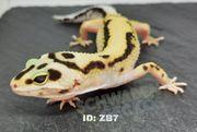 Leopardgeckos Blizzard Eclipse Zorro Bandit