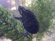 Moschusschildkröten Adulte Tiere und Babys
