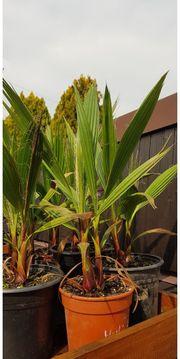 Palme Washingtona robusta 2er Nachzucht