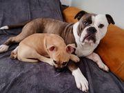 Alternativ Bulldoggen Welpe