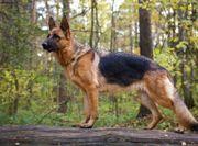 Schäferhund für Vidoprojekt gesucht