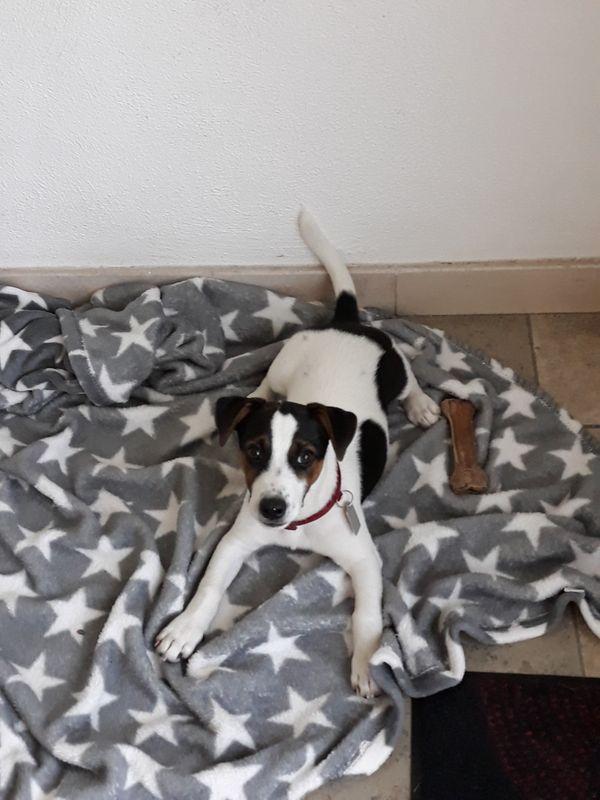 Süßer Jack Russell Terrier