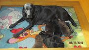 Labrador- Welpen mit Zuchtpapiere