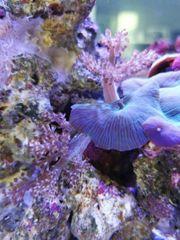 Meerwasser Ableger SPS LPS Weichkorallen