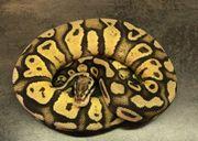 königspython 0 1 Vanilla pastel