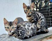 Super schöne reinrassige Bengalkitten
