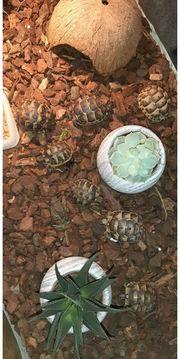 Griechische Maurische Landschildkröten