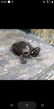 Wasserschildkrötenbabys