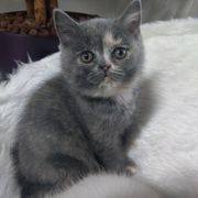 Süße quirlige British Kurzhaar Kitten