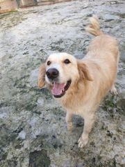 Tierschutz-Golden Retrievermädchen Kaynak ca 3