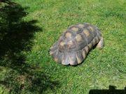 Breitrandschildkröte männlich 18 J
