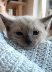 Katzen Kitten Kater Siam