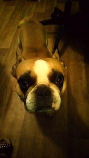 Deckrüde Buddy Französische Bulldogge 4