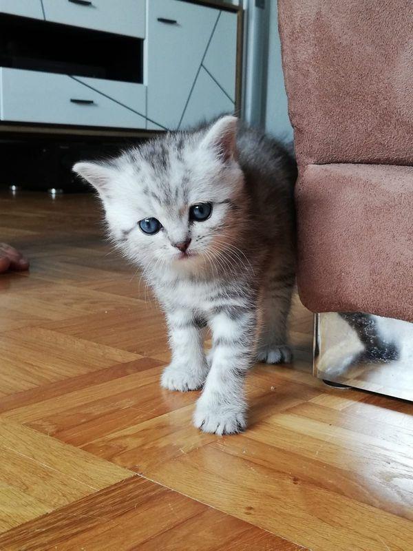 BKH Kitten Black Silver Kitten