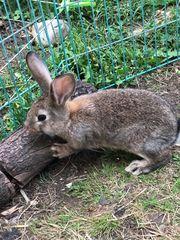 Zwergwidder Mixe Kaninchen Zwergkaninchen