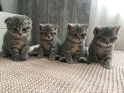 BKH Kitten reinrassig 2 Männchen