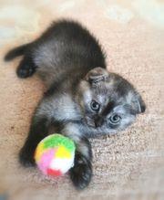 BKH Kitten Scottish fold Mädchen