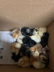 Hühner Küken am 28 09