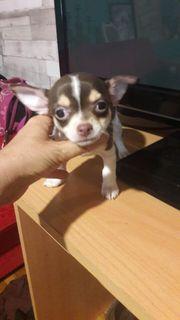 Extra süsse weibliche Mini Chihuahua