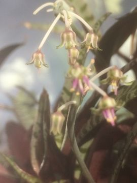 Ledebouria socialis kräftige Ableger mind: Kleinanzeigen aus Remseck - Rubrik Pflanzen